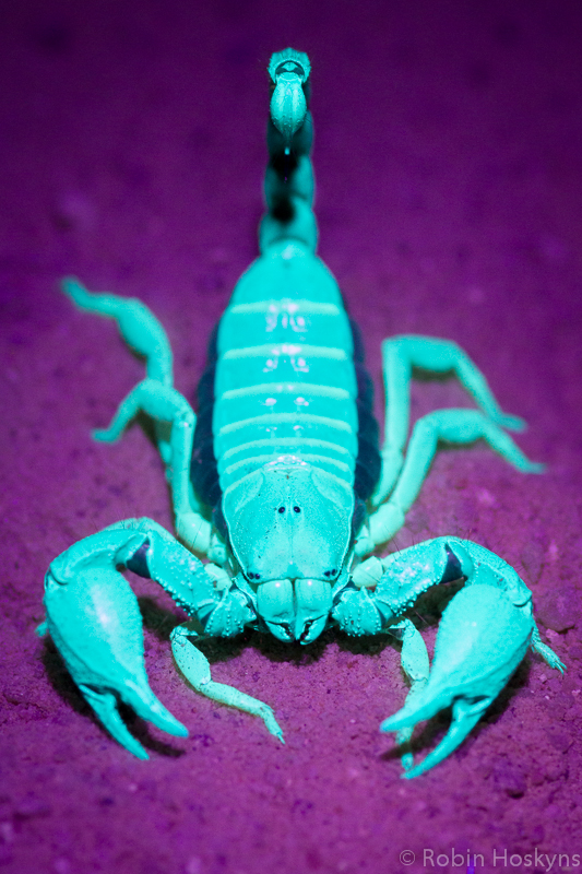 Cape Burrwing Scorpion, O. capensis under UV light.